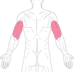 腕-上腕三頭筋
