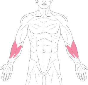 腕-前腕筋群